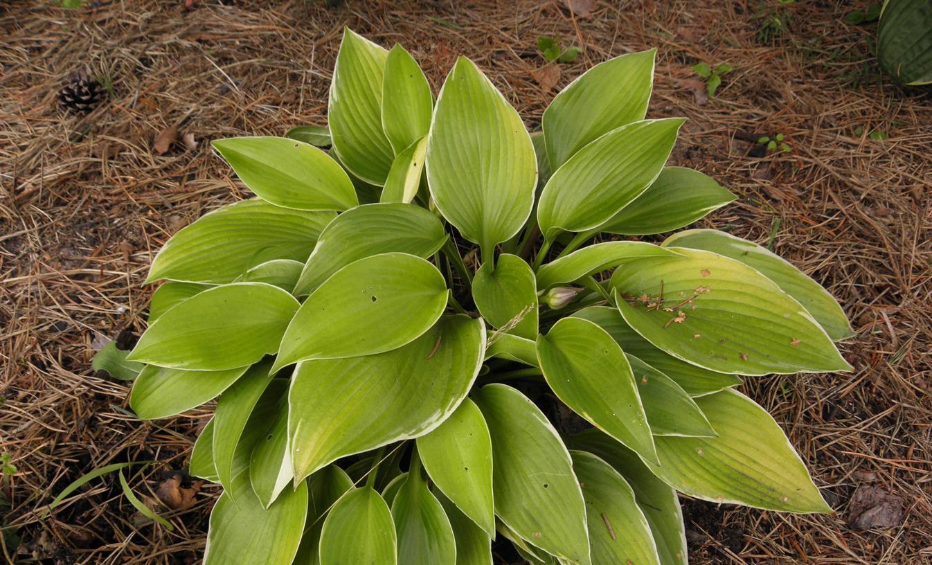 Хоста цветок фото описание