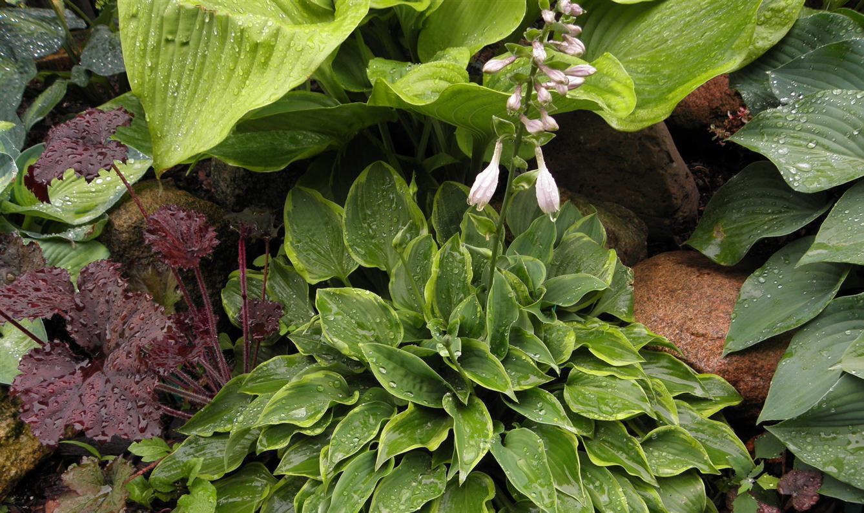 Хоста выращивание из семян фото