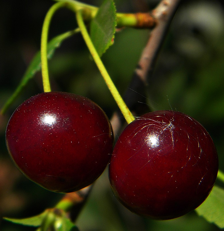 все сорта вишни с фото и описанием