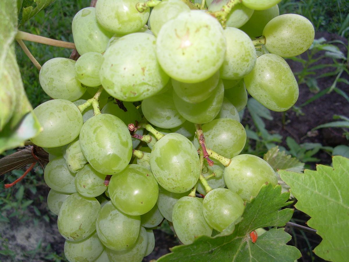 Уход за виноградом подарок запорожья 20