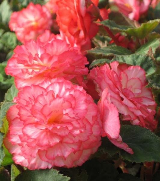 Бегония махровая розовая уход выращивание 16