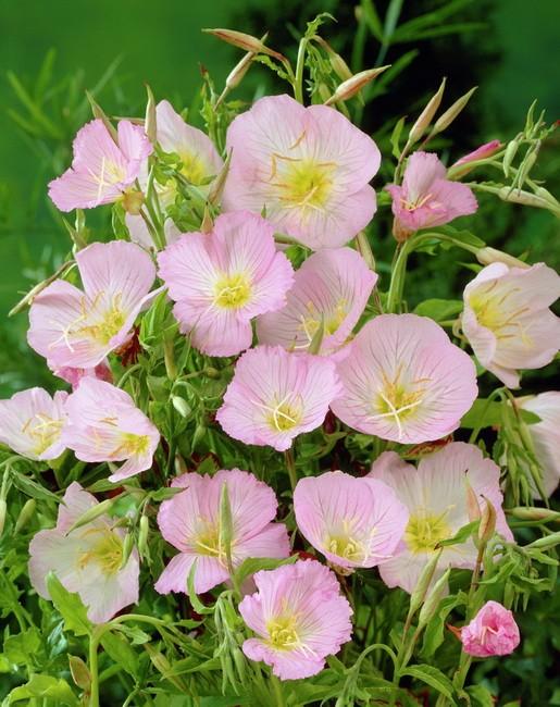 Выращивание энотера розовая 39