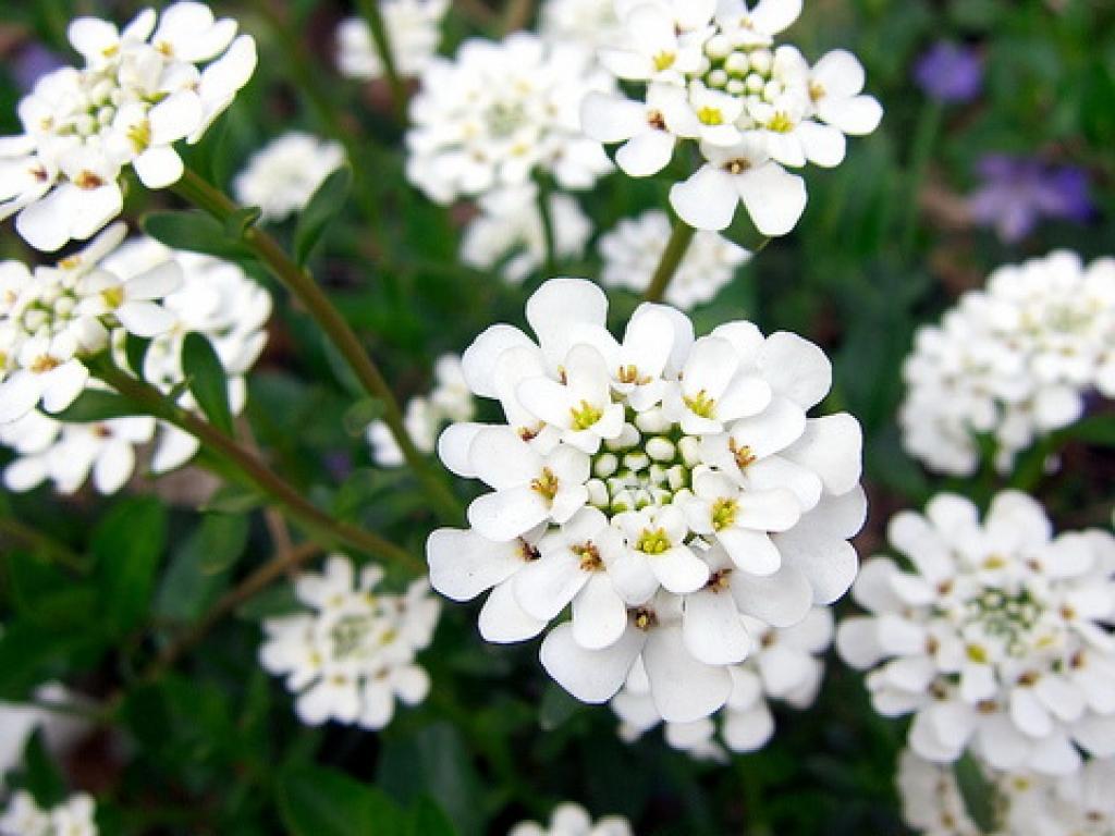 Иберис цветы выращивание 24