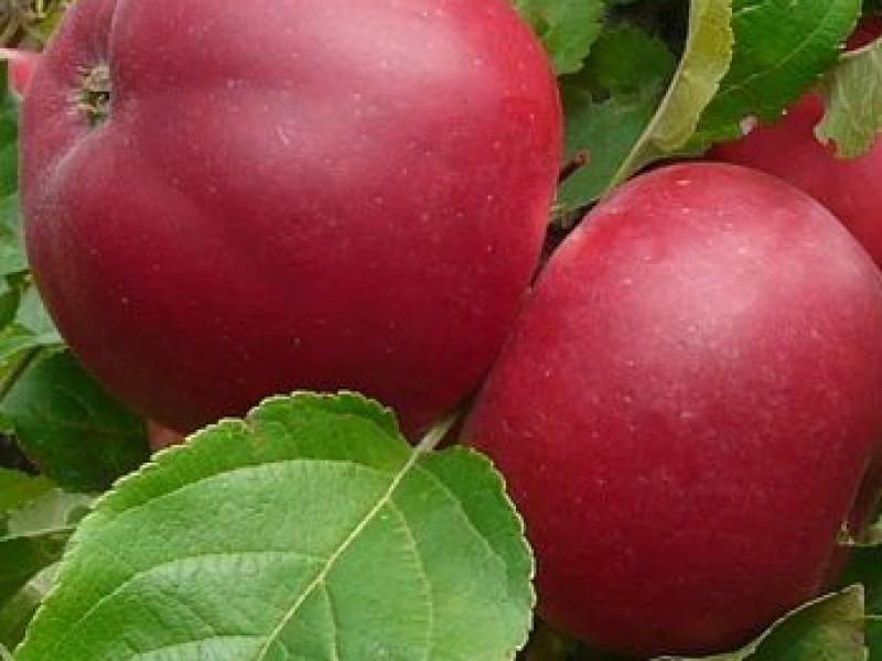 Сорта яблок подарок графскому 57