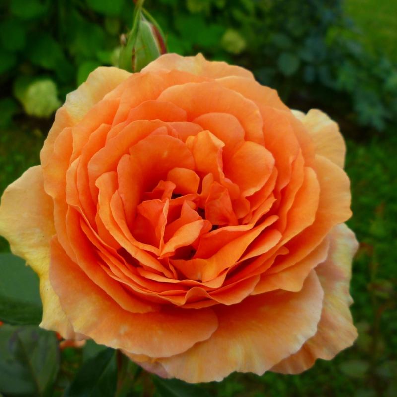 Westerland - описание розы, фото, отзывы m