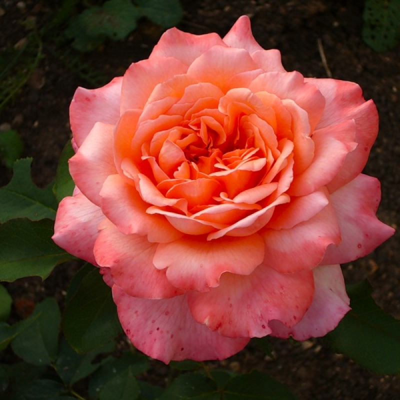 розы альбрехт дюрер фото