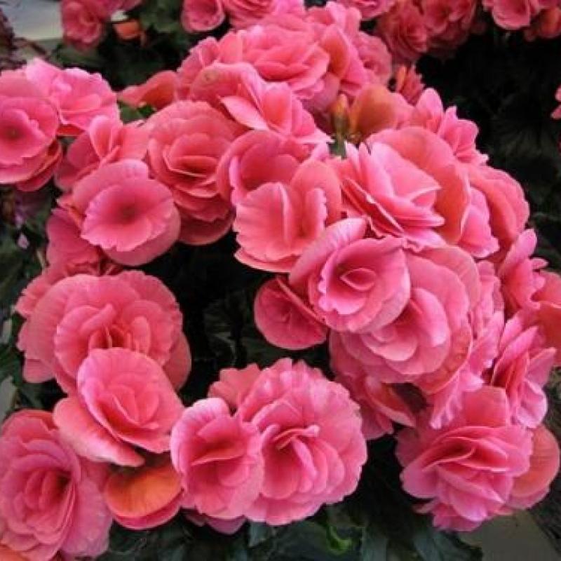 Цветок женское счастье уход в домашних условиях