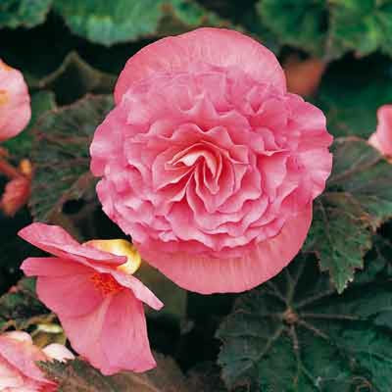 Бегония махровая розовая уход выращивание 4