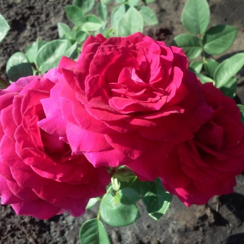 Роза биг перпл посадка и уход