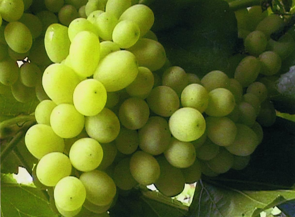 Подарок Магарача - винный сорт виноград - fo 9