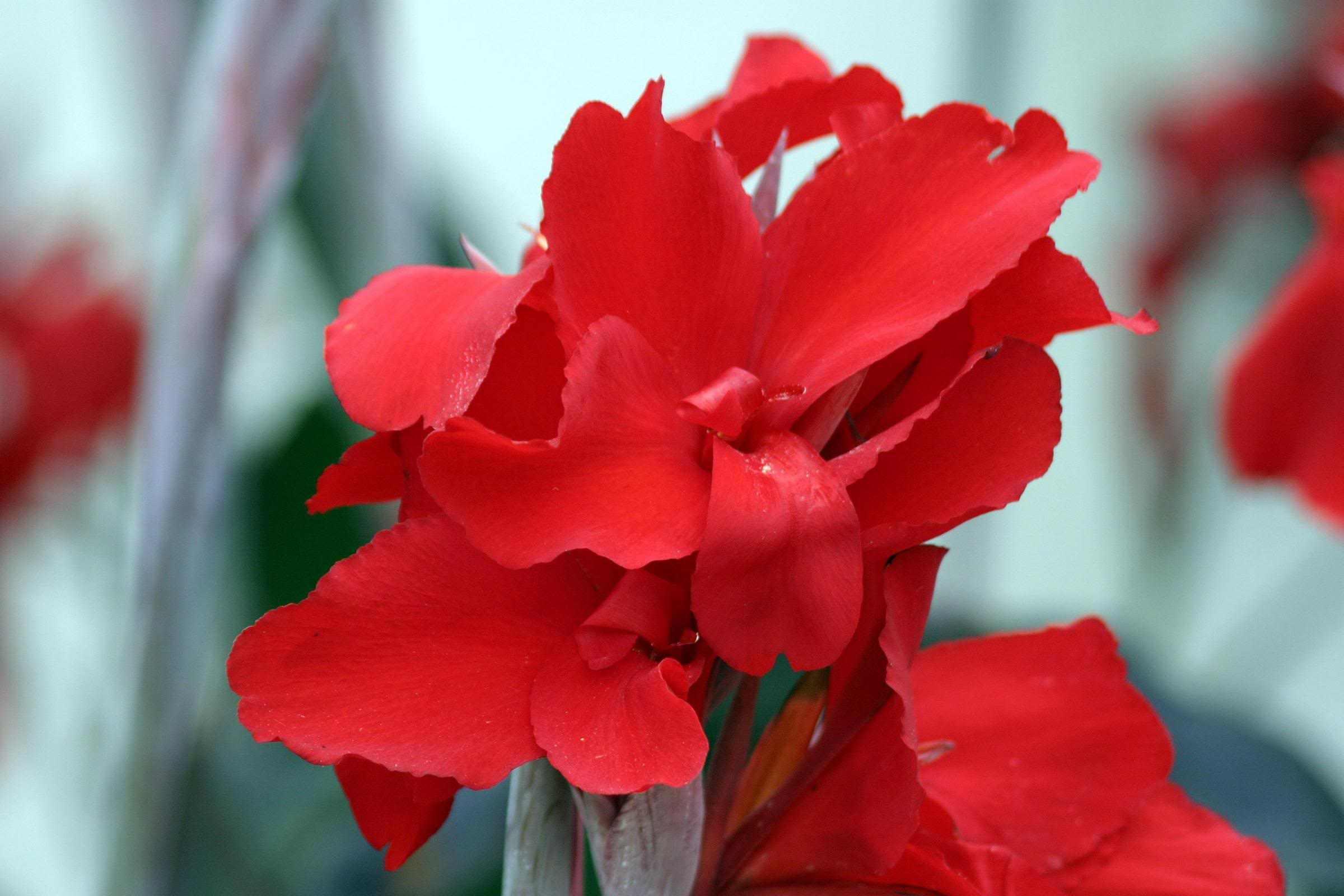 Канна цветок в домашних условиях фото