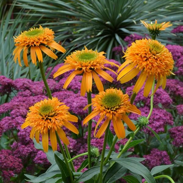 Эхинацея цветов сорта