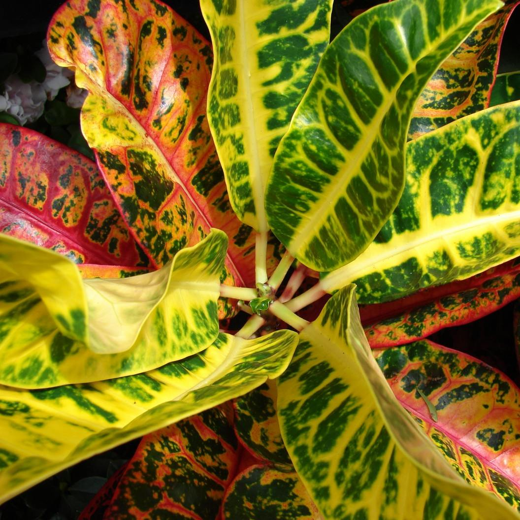 6 самых эффектных комнатных растений с многоцветными