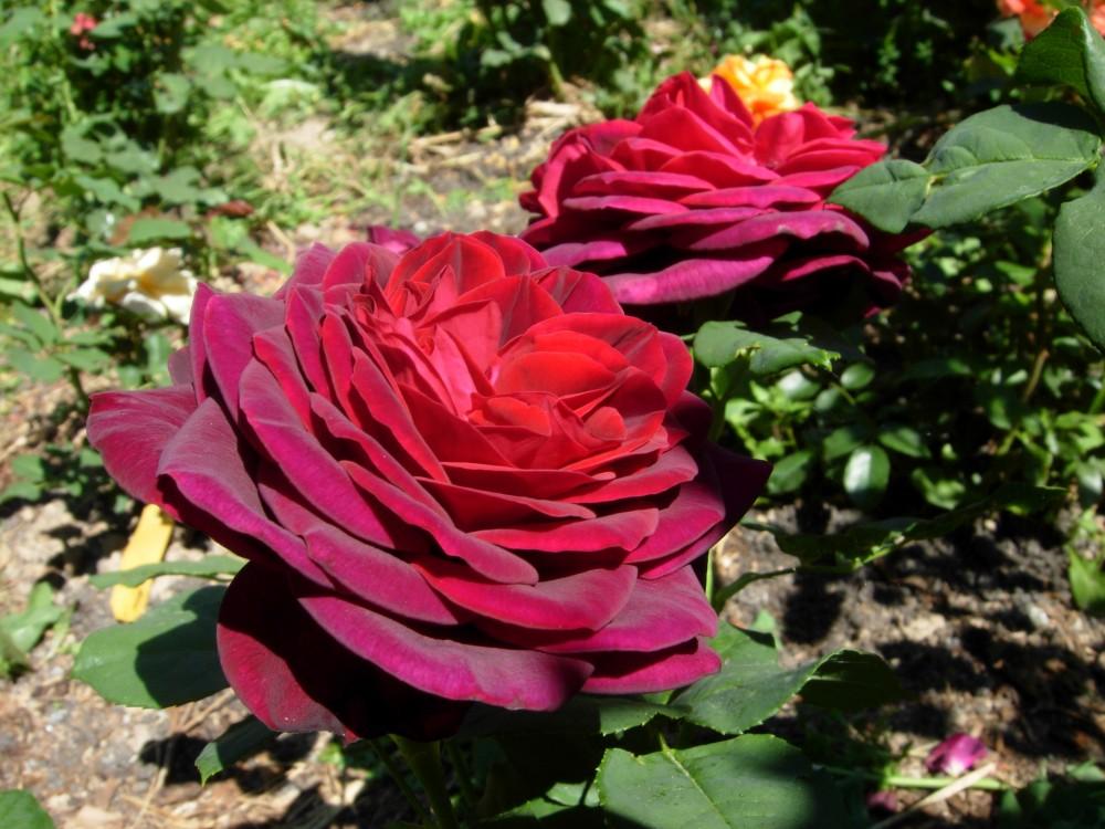 Сорт розы харденберг