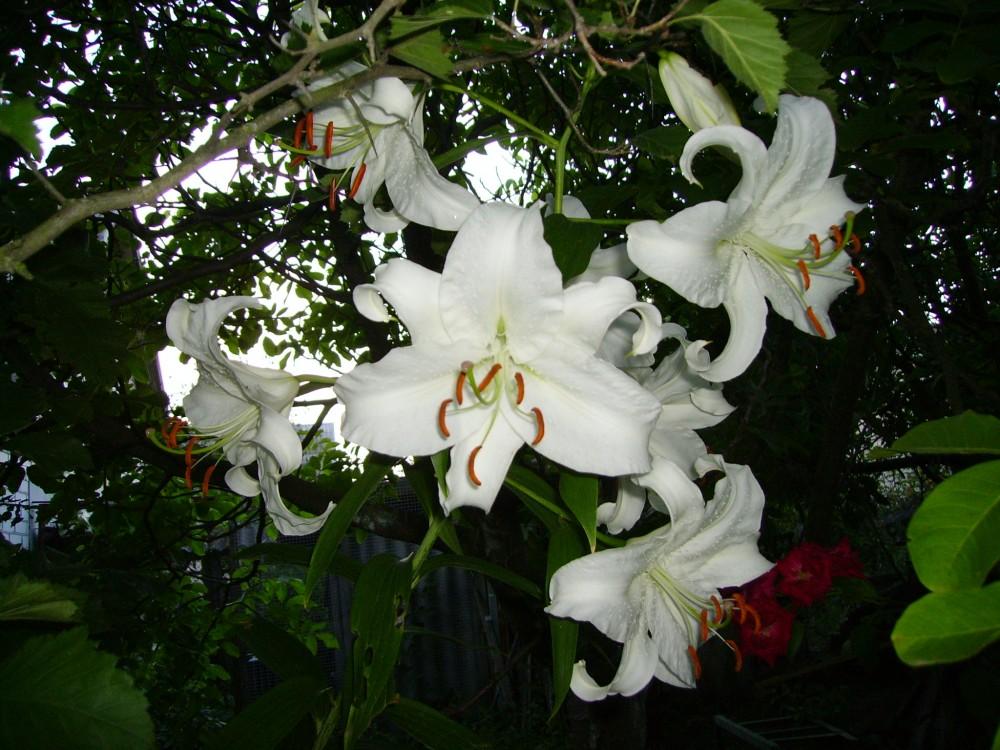 лилия casa blanca фото описания