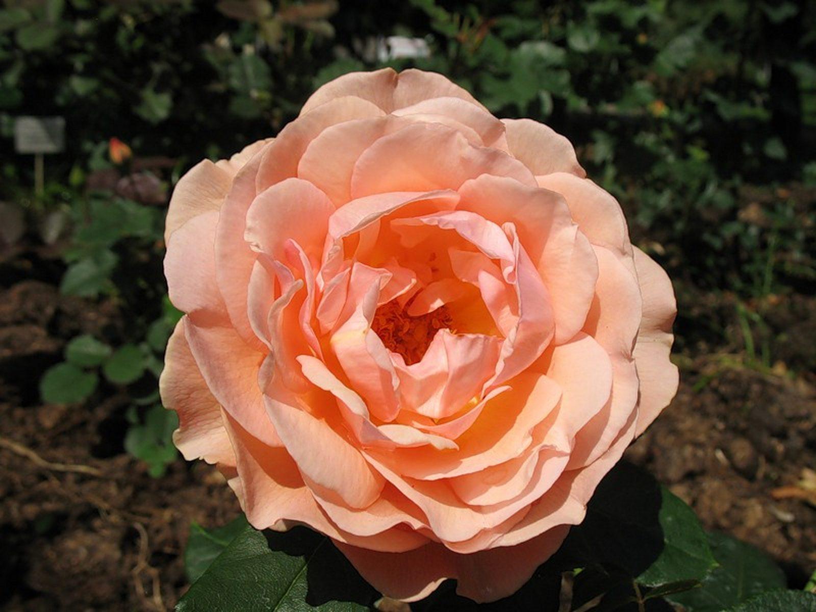 Роза николь фото и описание