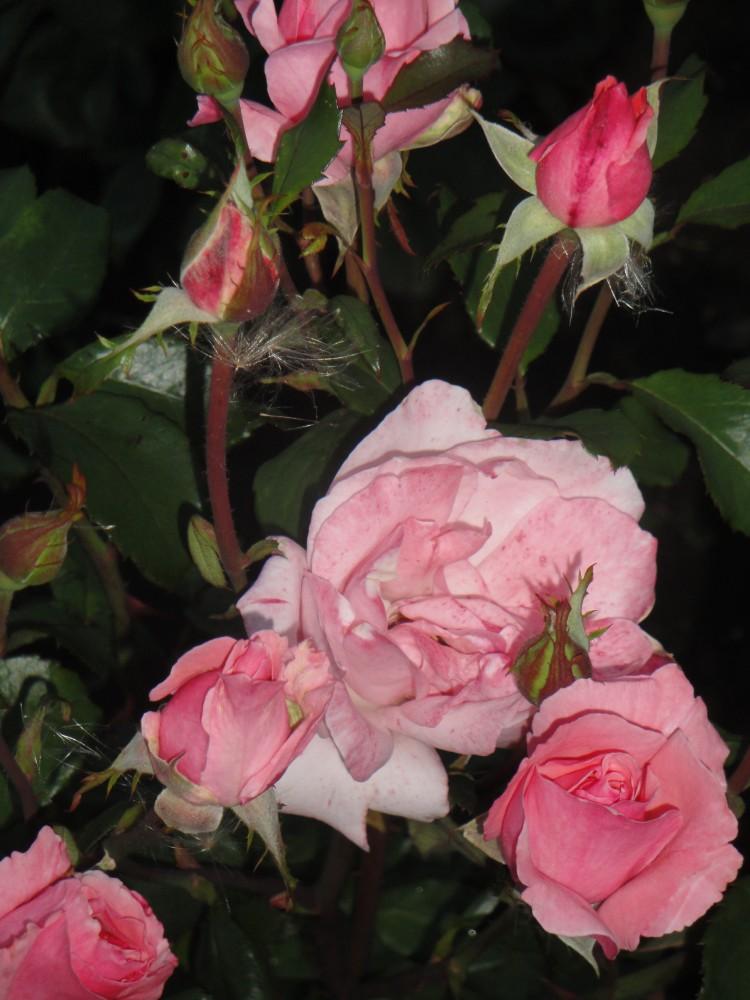 roses queen elizabeth queen of england the queen. Black Bedroom Furniture Sets. Home Design Ideas