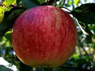 яблоко башкирская красавица фото