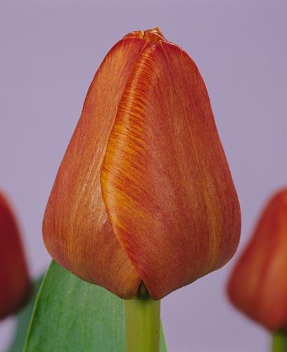 tulpen kair katalog sorten samen tulpen kair pflege vermehren und uberwintern tulpen. Black Bedroom Furniture Sets. Home Design Ideas