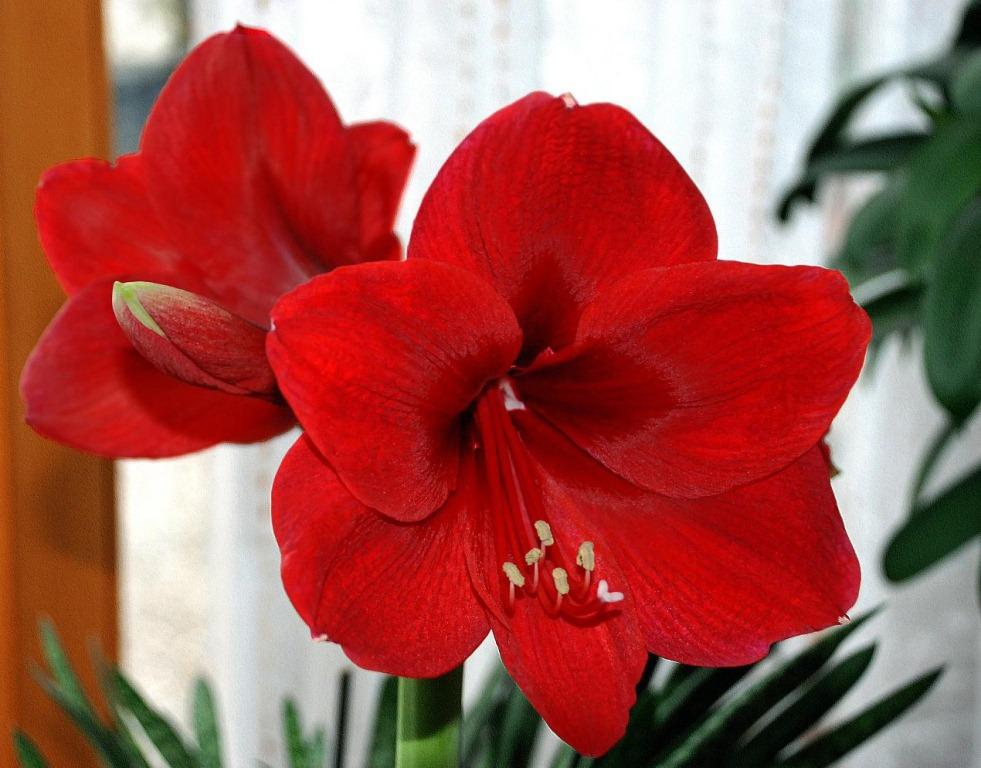 Домашние луковичные цветы картинки