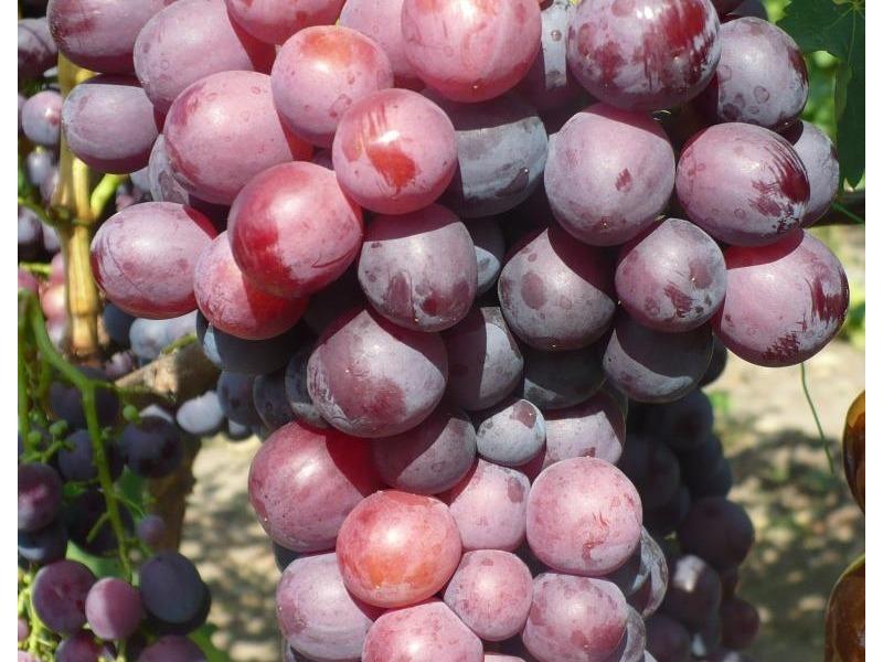 Виноград кардинал описание фото характеристика