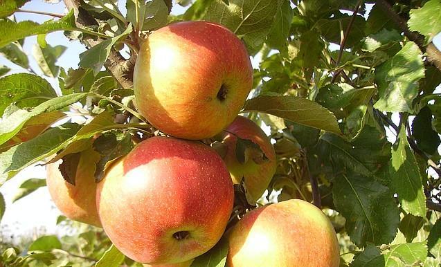 могут купить саженцы яблонь в беларуси оптом водочный