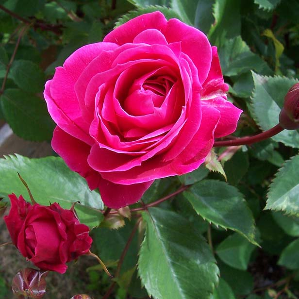 Канадские розы фото и описание