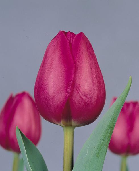 tulpen barselona katalog sorten samen tulpen barselona pflege vermehren und uberwintern. Black Bedroom Furniture Sets. Home Design Ideas