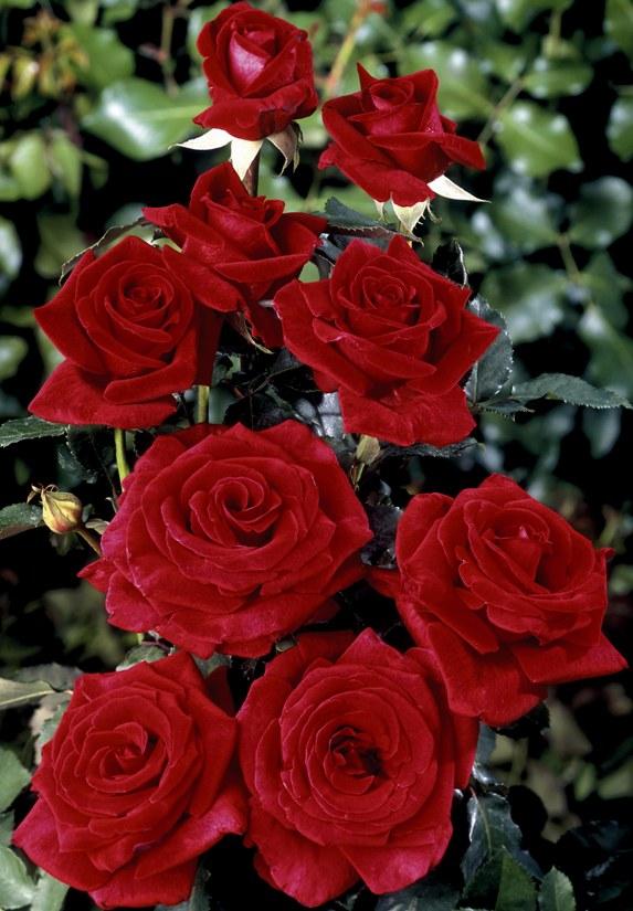 искусственных розы в картинках отзывы заменить горячие