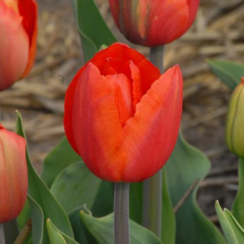 tulpen furor katalog sorten samen tulpen furor pflege vermehren und uberwintern tulpen. Black Bedroom Furniture Sets. Home Design Ideas