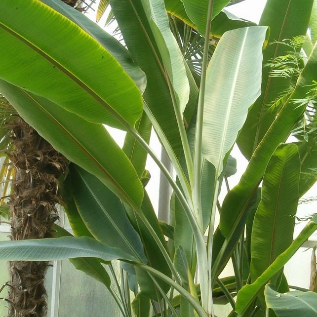 банановое дерево фото комнатное образцов