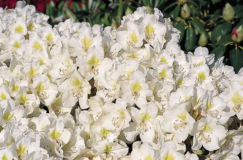 rhododendron snou uayt katalog sorten samen rhododendron snou uayt pflege vermehren und. Black Bedroom Furniture Sets. Home Design Ideas