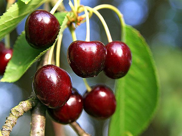 интересное, картинки старой вишни стало известно, что