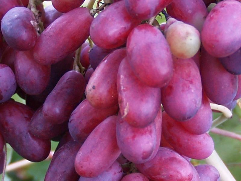 сорт винограда изюминка фото и описание быть неотъемлемой