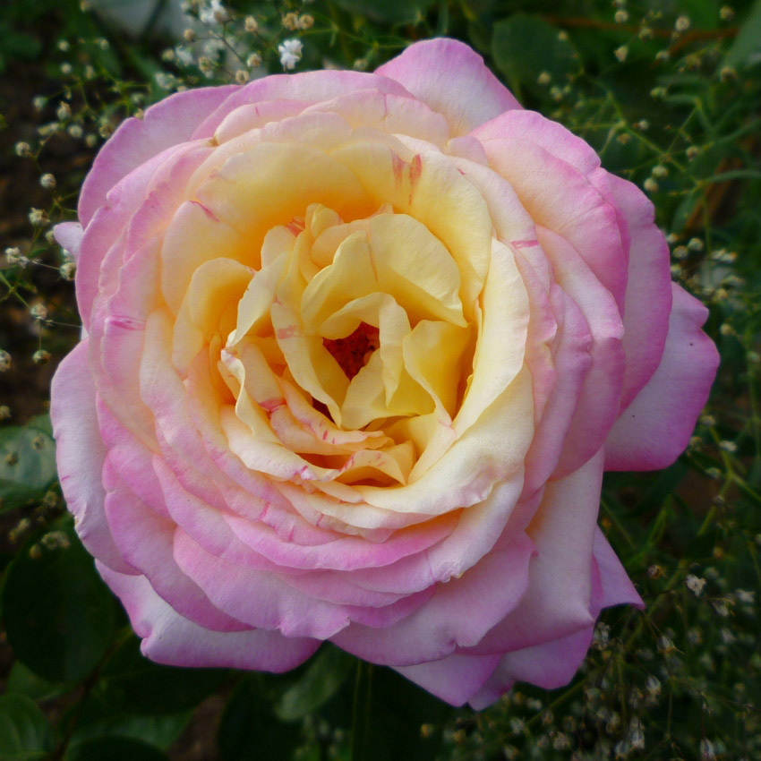 roses gloria dei types and varieties roses gloria dei. Black Bedroom Furniture Sets. Home Design Ideas