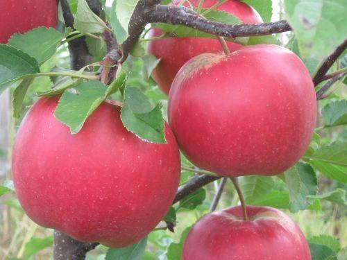 какие сорта яблок подходящи для кальвадоса