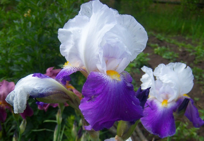 iris vorld premer katalog sorten samen iris vorld premer pflege vermehren und uberwintern. Black Bedroom Furniture Sets. Home Design Ideas
