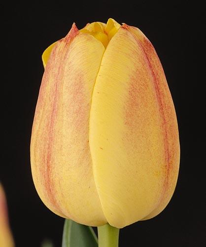 tulpen relevar katalog sorten tulpen relevar pflanzen. Black Bedroom Furniture Sets. Home Design Ideas