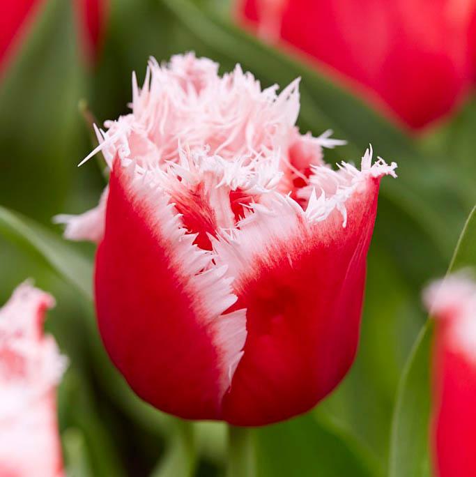 tulpen nyu santa katalog sorten samen tulpen nyu santa pflege vermehren und uberwintern. Black Bedroom Furniture Sets. Home Design Ideas