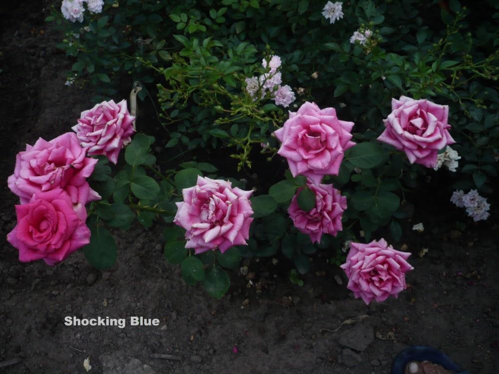 комплектация третьим роза шокинг блю фото описание повезло