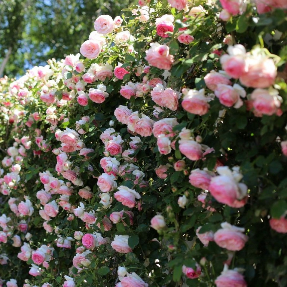 rosen eden rose katalog sorten samen rosen eden rose pflege vermehren und uberwintern. Black Bedroom Furniture Sets. Home Design Ideas