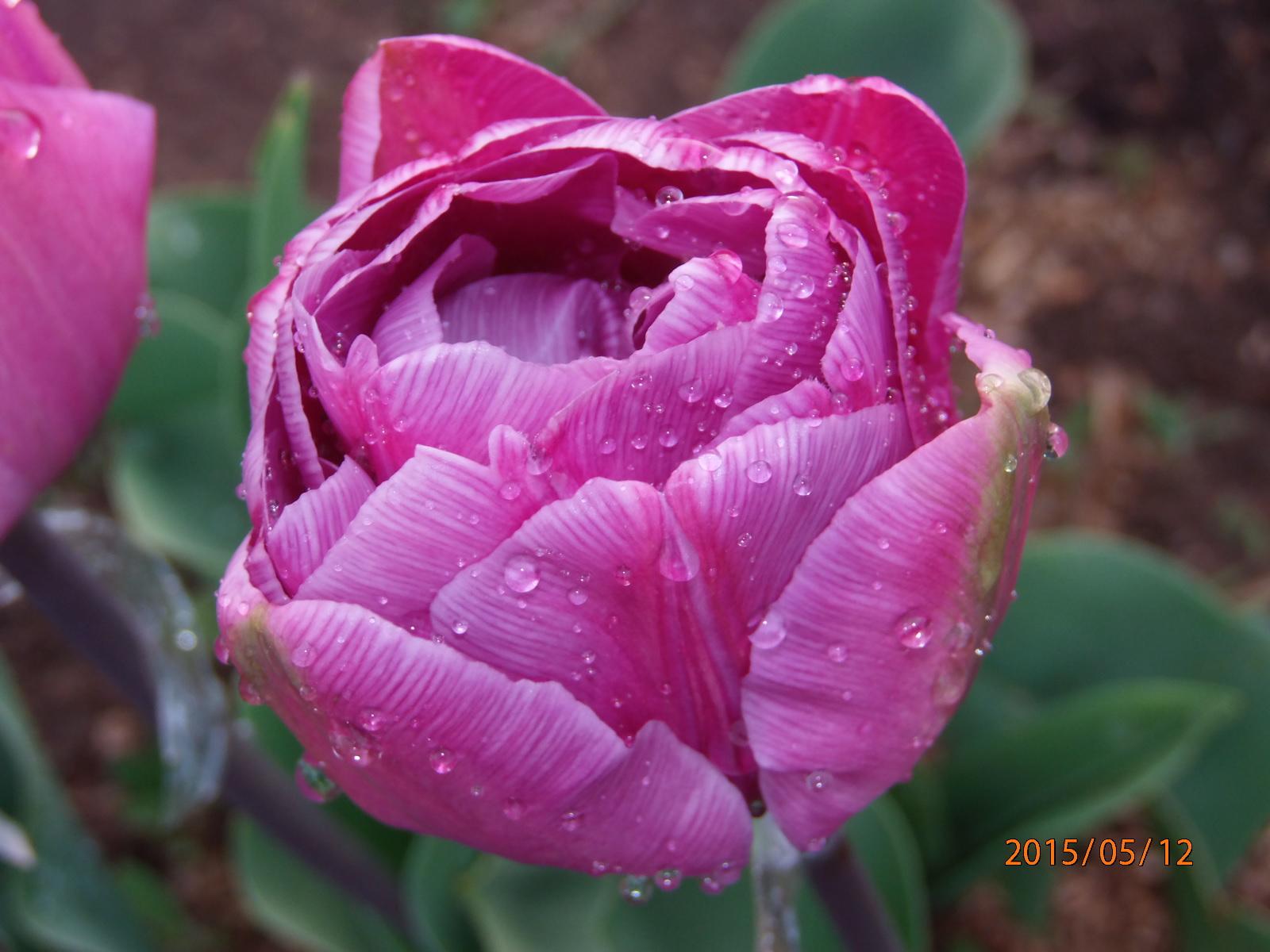 tulpen sorten arten tulpenzwiebeln tulpenpflege tulpen pflanzen und tipps tulpen mehrj hrig. Black Bedroom Furniture Sets. Home Design Ideas