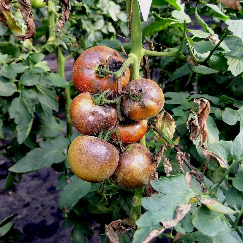 Болезни томатов фото и описание  AgroFloraru