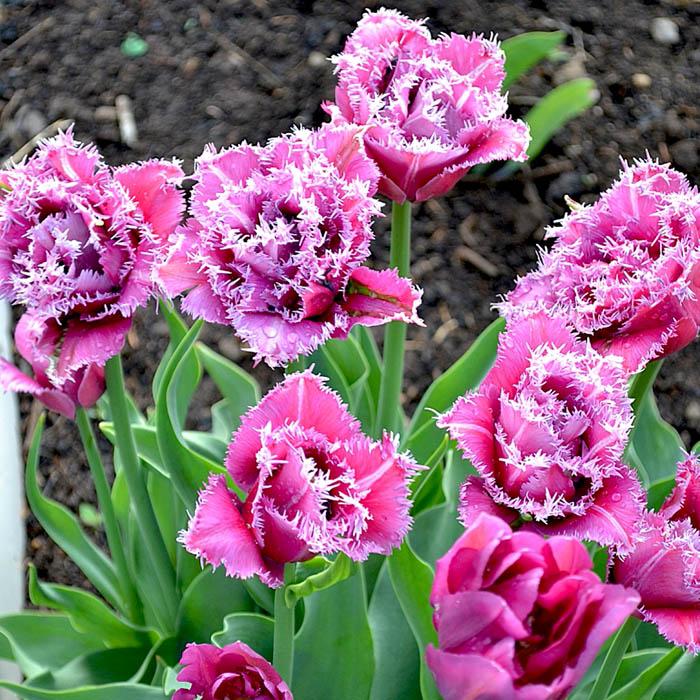 tulpen maskotte katalog sorten samen tulpen maskotte pflege vermehren und uberwintern. Black Bedroom Furniture Sets. Home Design Ideas