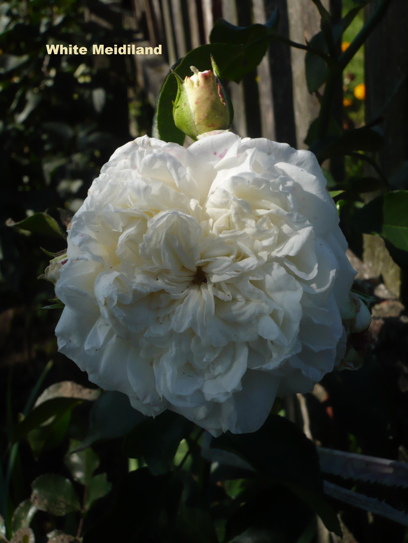 Роза вайт мейдиланд энциклопедия роз