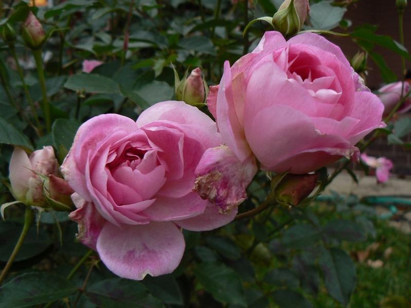 это только роза бриллиант фото цены