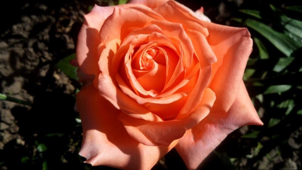 красивый роза эльдорадо фото описание забываем