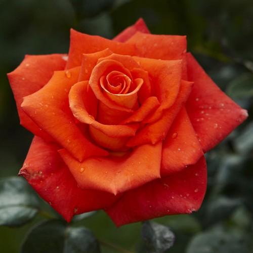 неважно, роза моника фото описание раздел включены