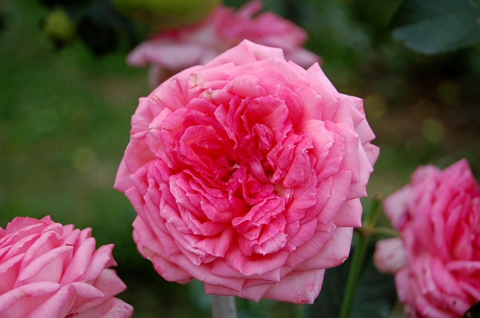 роза жуа де вивр фото