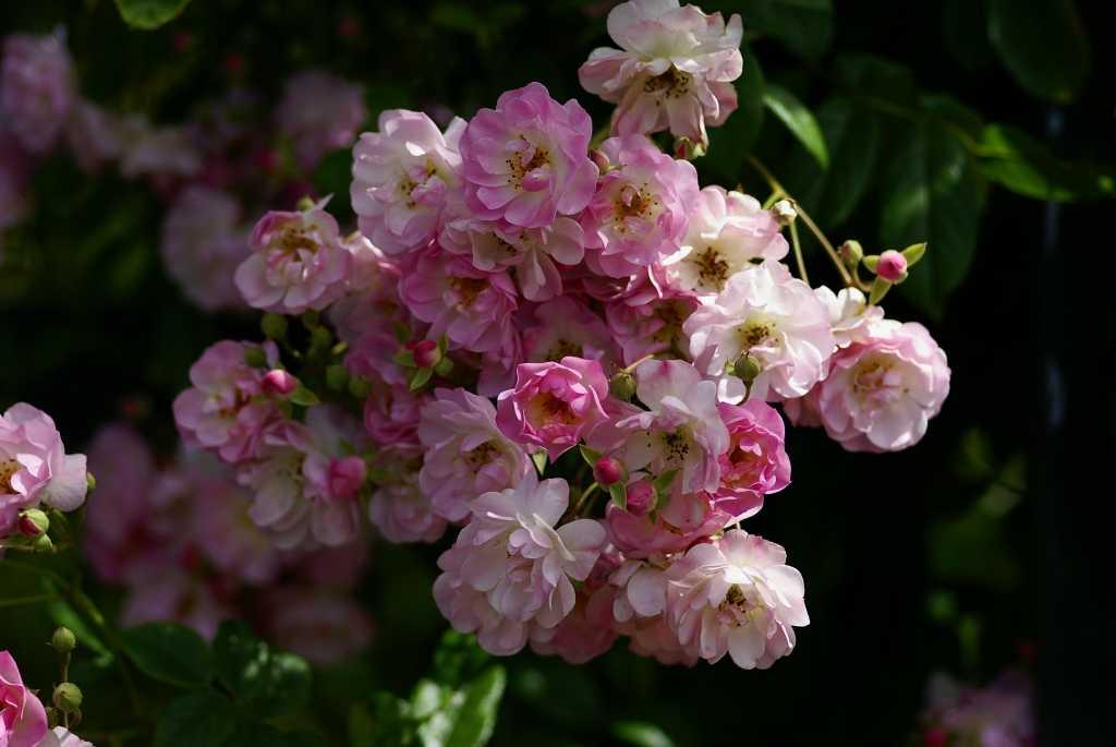 роза рамблер розового цвета фото того